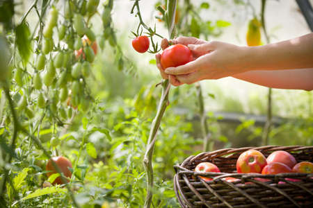 womans hands harvesting fresh organic tomatoes in her garden on a sunny day. Farmer Picking Tomatoes. Vegetable Growing. Gardening concept