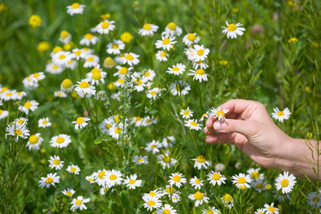 Closeup of womans hand picking up chamomile from a daisy meadow on a sunny summer day. Wild flowers in the park.
