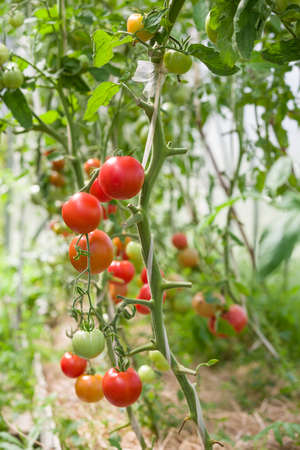 Harvest of fresh organic tomatoes in greenhouse on a sunny day. Picking Tomatoes. Vegetable Growing. Gardening concept Foto de archivo