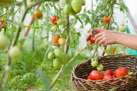 Woman's hands harvesting fresh organic tomatoes in her garden on a sunny day.Farmer Picking Tomatoes. Vegetable Growing. Gardening concept Stock Photo