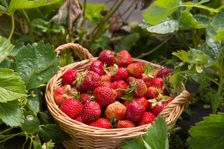 Top view on basket full of freshly picked organic strawberries on a strawberry field or farm. Healthy snack. Summer. Outdoors.
