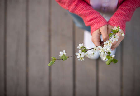 Top view on blooming cherry in womans hands on wooden background. Spring flowers. Nature. Outdoors.