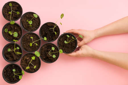 Triangle made of black plastic pots with sprouts and girls hands taking one pot on pink background. Top view