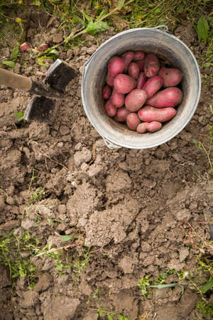 Top view on a bucket with red potatoes in the garden. Harvest, gardening