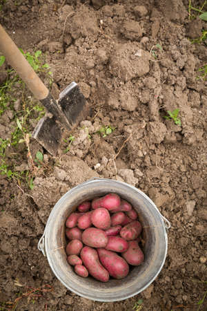 Top view on a garden metal bucket with dug red organic potatoes and shovel in the soil. Gardening
