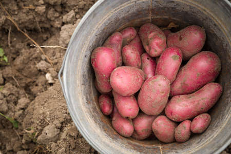 Top view on a garden metal bucket with red organic potatoes. Gardening
