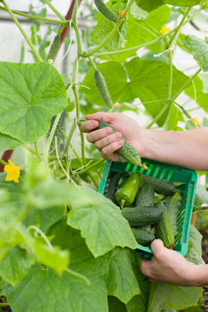 Closeup of man's hands with plastic basket picking up organic cucumbers in the greenhouse. Healthy eating. Gardening and agriculture concept. Archivio Fotografico