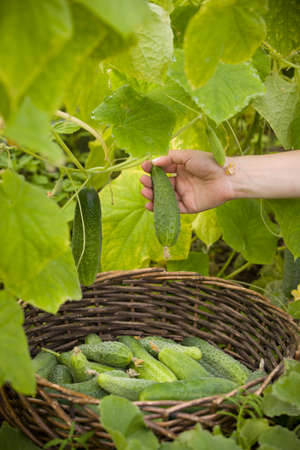 Closeup of woman's hands with round basket picking up organic cucumbers in the greenhouse. Healthy eating. Gardening and agriculture concept. Archivio Fotografico