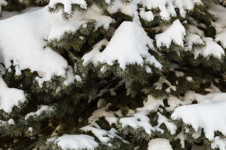 Closeup of fir branches covered with heavy snow. Preparing for the celebration of Christmas and New Year. Winter background.