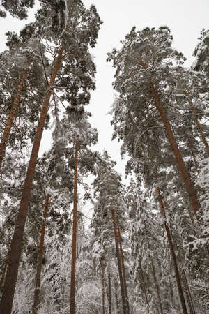 Tall spruces in magic at snowy forest in winter day. Natural New Year Christmas rembling scenery winter background.