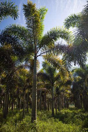 Farm for growing palms. Palm oil tree plantation, California Stock Photo