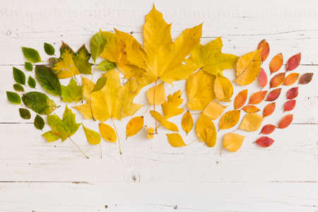 Top view on various autumn colorful green, yellow, orange and red leaves on white wooden background.