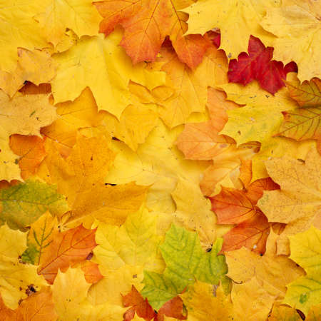 Closeup of the beautiful colorful bright autumn lying on the ground. A bouquet of multicolored leaves of red, yellow, red, green, orange. Flat lay. Autumn concept