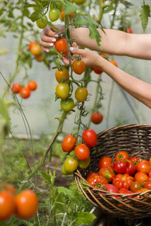 Closeup of womans hands harvesting fresh organic tomatoes in her garden on a sunny day. Farmer Picking Tomatoes. Vegetable Growing. Gardening concept