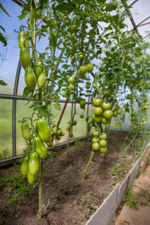 Harvest of fresh organic tomatoes in greenhouse on a sunny day. Picking Tomatoes. Vegetable Growing. Gardening concept Stock Photo