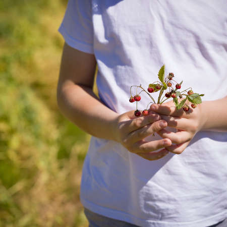 Close-up of the hands of a child holding a bouquet of wild strawberries. Kid boy with strawberries in the garden on a sunny summer day. Healthy food. Lifestyle. Stock Photo
