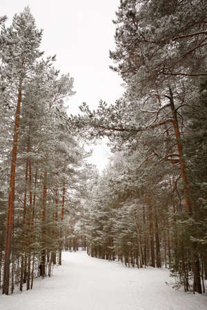 Walk through the woods with tall pines. Snow-white alley between the trees. Snow falls to the ground and the tops of the trees. Nature as it is.