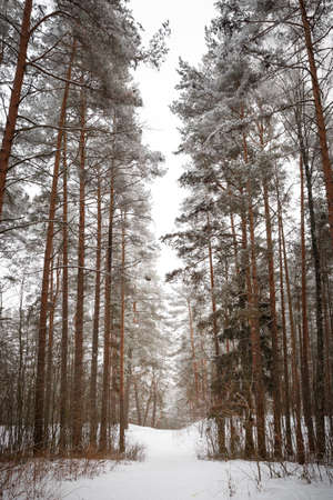 Real pine forest in the snow. Snow-covered alley between the trees. Flakes of snow covered the ground and the tops of the trees. Real nature and relaxation. Stock Photo