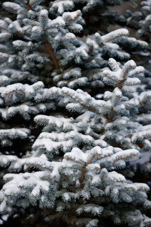 A snowy evergreen tree in the open air. Preparation for decorating evergreen trees with Christmas decor. Winter, holiday season and Christmas concept. A traditional holiday. Stock Photo