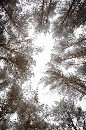 Walk through the woods with high pines covered with snow. Tall pines rush high into the sky. Flakes of snow. Real nature as it is.