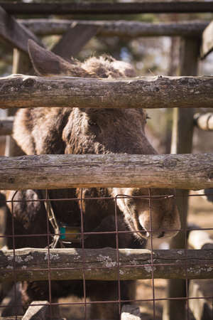 Closeup of the head of an elk with brown fur behind a fence in a forest reserve. A huge elk with big kind eyes is waiting for little visitors. Фото со стока - 120642182