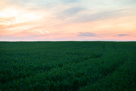 Agriculture field landscape at colorful sunset or sunrise. The sun was setting over the horizon. Green grass and colorful sky. 版權商用圖片