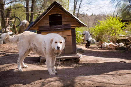 Big white dog on the background of the doghouse. A dog on a thick chain guards the house, territory and livestock. Agriculture and rural life.