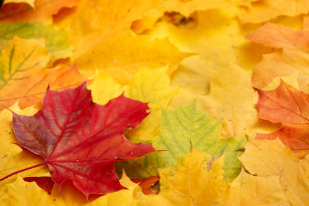 Bright multicolored maple leaves lying on the ground. Top view of the red, orange, yellow and green leaves of the maple. Closeup. Bright colors of Autumn. Stock Photo