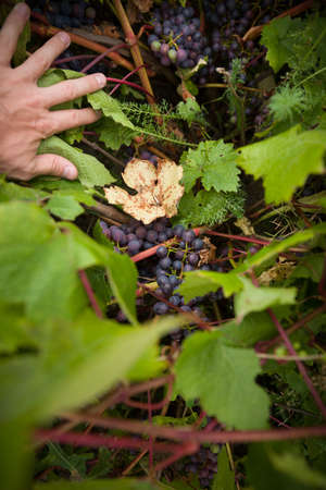 Closeup of a vineyard. Hands girls pushing the leaves of the vine and show clusters of blue organic grapes. The concept of healthy eating.