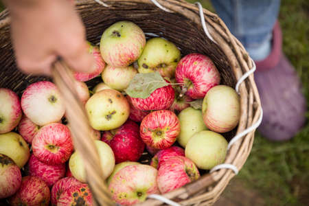 Closeup of a basket of freshly picked apples in the hands of a young woman. View from above. A girl is holding a wicker vintage basket full of ripe apples. Garden harvest. Healthy lifestyle.