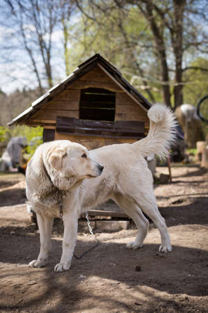A big white dog on a chain guards the house and territory. Country life. Dog on the background of the dog house.