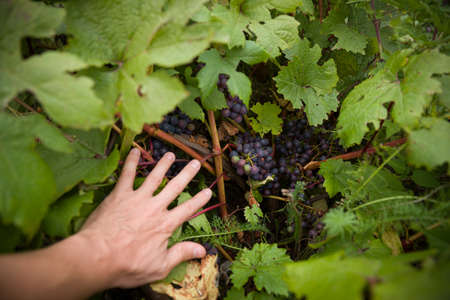 The hands of a man push the leaves of the vine apart and show clusters of blue organic grapes. The concept of healthy eating. Vineyard in the garden. 스톡 콘텐츠