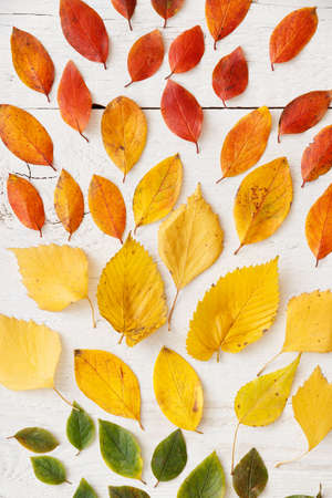 Closeup of autumn leaves lying on a white wooden background. Bright colorful leaves laid out in colors. Autumn concept