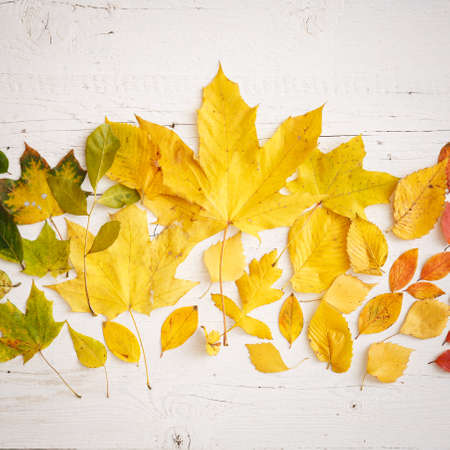 Closeup of autumnal fading leaves lying on a white wooden table. A large maple leaf in the center of the composition. The leaves are arranged in color. Autumn concept