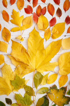 Closeup of autumn colorful leaves lying on a white wooden background. Bright colored maple and drute leaves are arranged in colors. Autumn concept