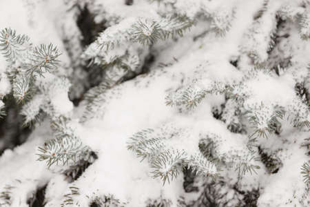 Closeup of Christmas evergreen tree covered with a thick layer of snow. Winter, holiday season and christmas concept. Traditional holiday. 스톡 콘텐츠
