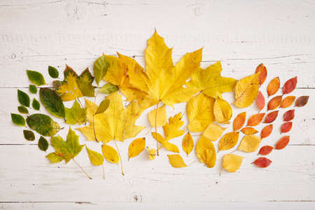 Autumn colorful leaves lie on a white wooden background. Bright yellow, red, green and orange leaves are laid out in the middle of the table with a smooth gradient transition.