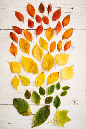 Closeup of autumnal fading leaves lying on a white wooden table. Bright colorful leaves laid out in colors. Autumn concept