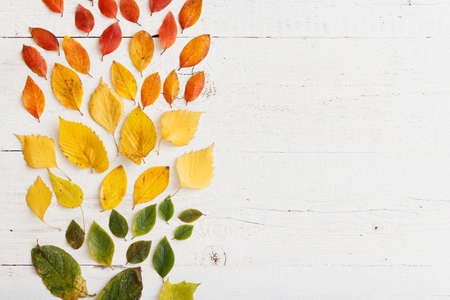 Top view of bright colorful autumn leaves laid out in colors on a white wooden table. Autumn concept. 스톡 콘텐츠 - 130400810