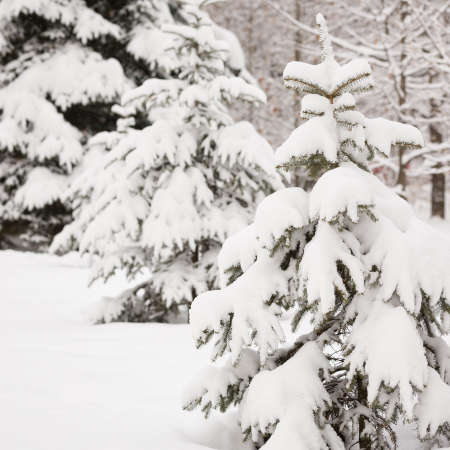 Closeup of fir branches covered with heavy snow. Winter background. 스톡 콘텐츠 - 130400952