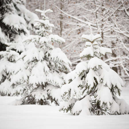Christmas tree covered with snow in a winter forest. Preparing for the celebration of Christmas and New Year. Beautiful nature. 스톡 콘텐츠 - 130401064