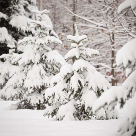 Snowy evergreen trees in the open air. Preparing to decorate evergreen trees with Christmas decorations. Winter, snow, festive season and christmas concept. Traditional holiday.