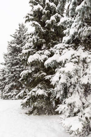 Christmas tree covered with snow in a winter forest. Preparing for the celebration of Christmas and New Year. Beautiful nature.