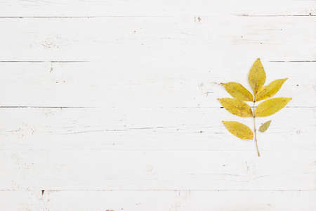 Sprig with leaves of young ash. Top view on yellowed ash leaves in autumn. Autumn concept 스톡 콘텐츠