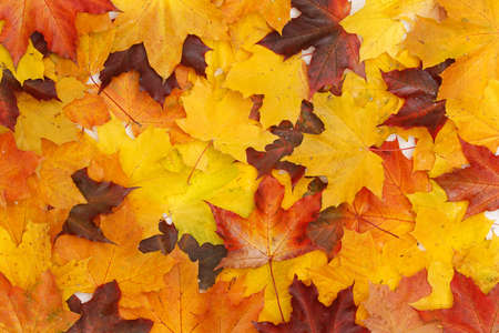 Top view on colorful maple leaves. Leaves of red, yellow, orange and other colors lying on the table. Autumn background and concept. Flat lay 스톡 콘텐츠