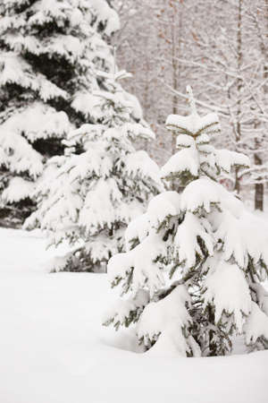 A snowy evergreen tree in the open air. Preparation for decorating evergreen trees with Christmas decor. Winter, holiday season and Christmas concept. A traditional holiday. 스톡 콘텐츠