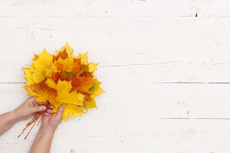 Many colored maple leaves in womans hands against the background of a white textured wooden table. A bouquet of autumn leaves in the hands of a grandmother.