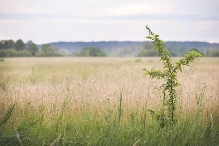 Dry grass meadow in sunset light against the background of fog and forest. Evening landscape. 写真素材