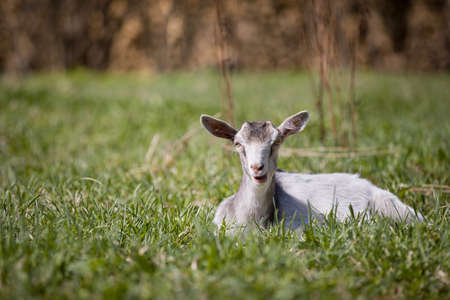 A young white goat lies in the green grass in the meadow on a sunny warm day. A goat grazes freely on a farm