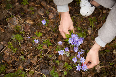 Top view on womans hands embracing wild snowdrops. Spring flowers in the hands of the girl. spring mood.